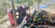 কমলগঞ্জে হলুদ তরমুজ চাষে কৃষকের সাফল্য
